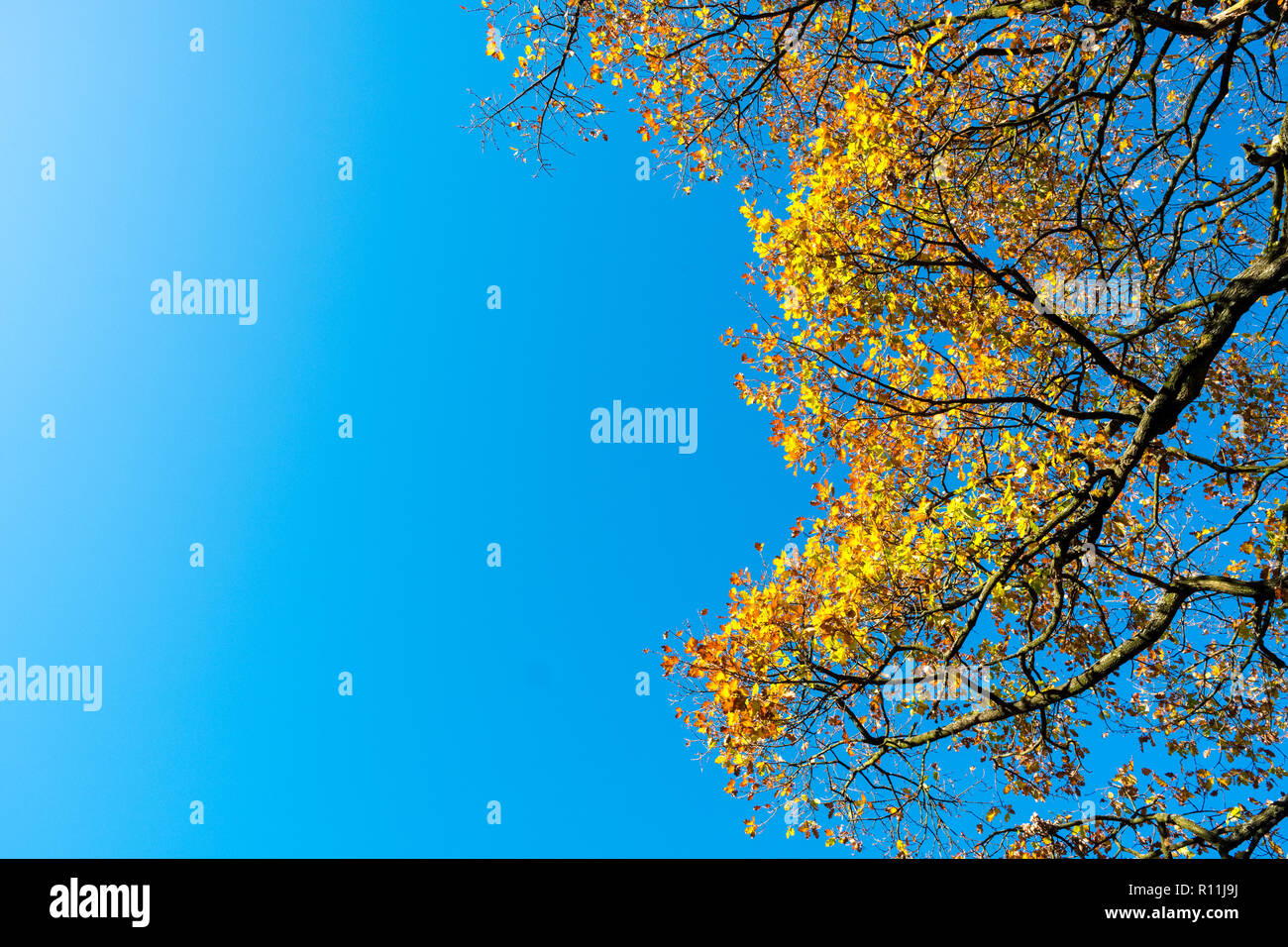 autumn leaves against a blue sky in the Peak District National Park, UK - Stock Image