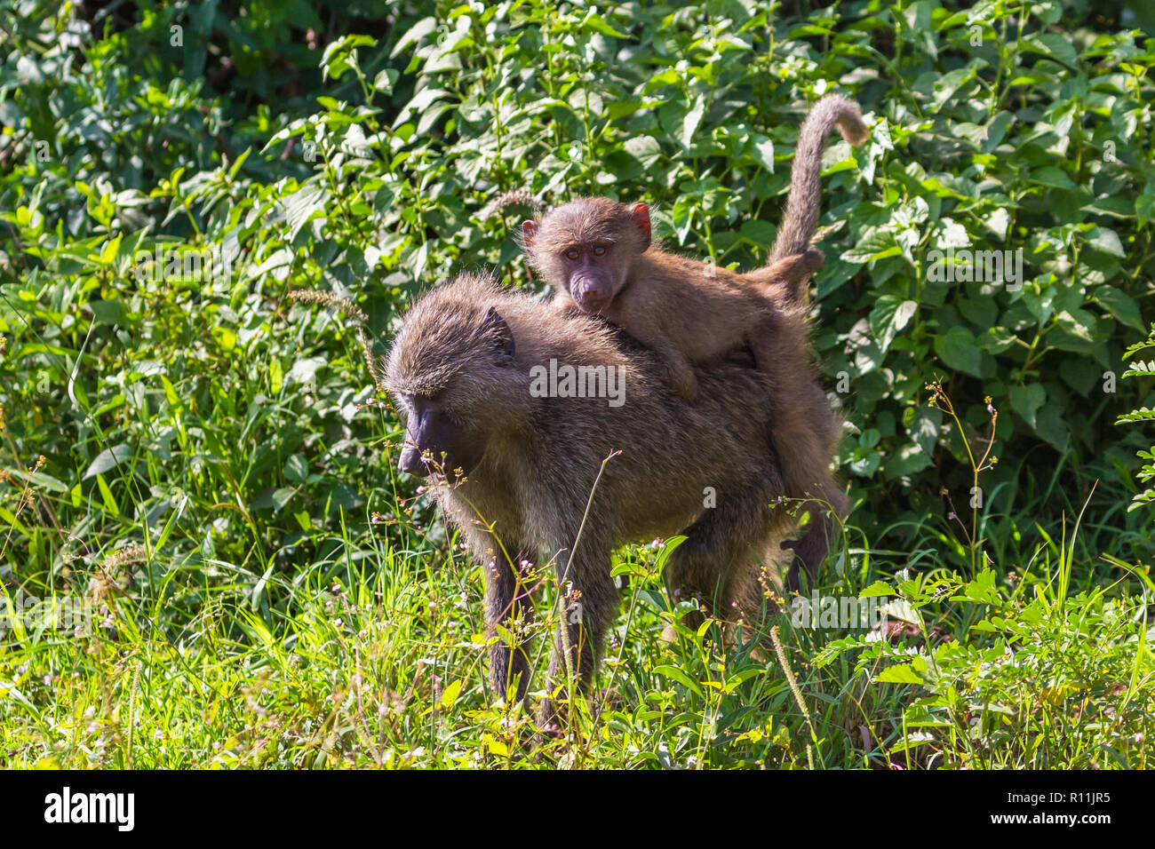 Baboons. Lake Manyara National Reserve Tanzania. - Stock Image