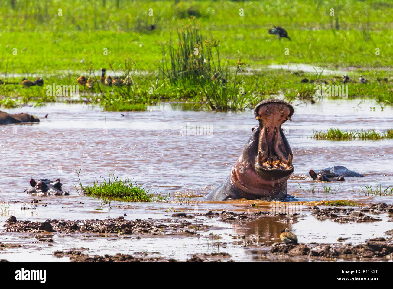 Hippopotamus. Lake Manyara National Reserve Tanzania. - Stock Image
