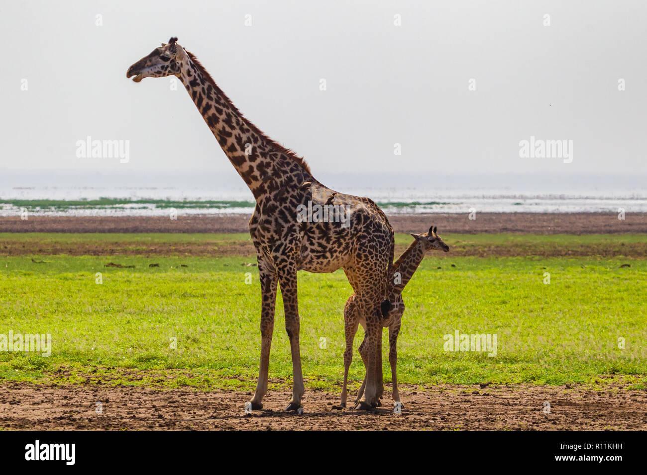 Giraffe. Lake Manyara National Reserve. Tanzania. - Stock Image