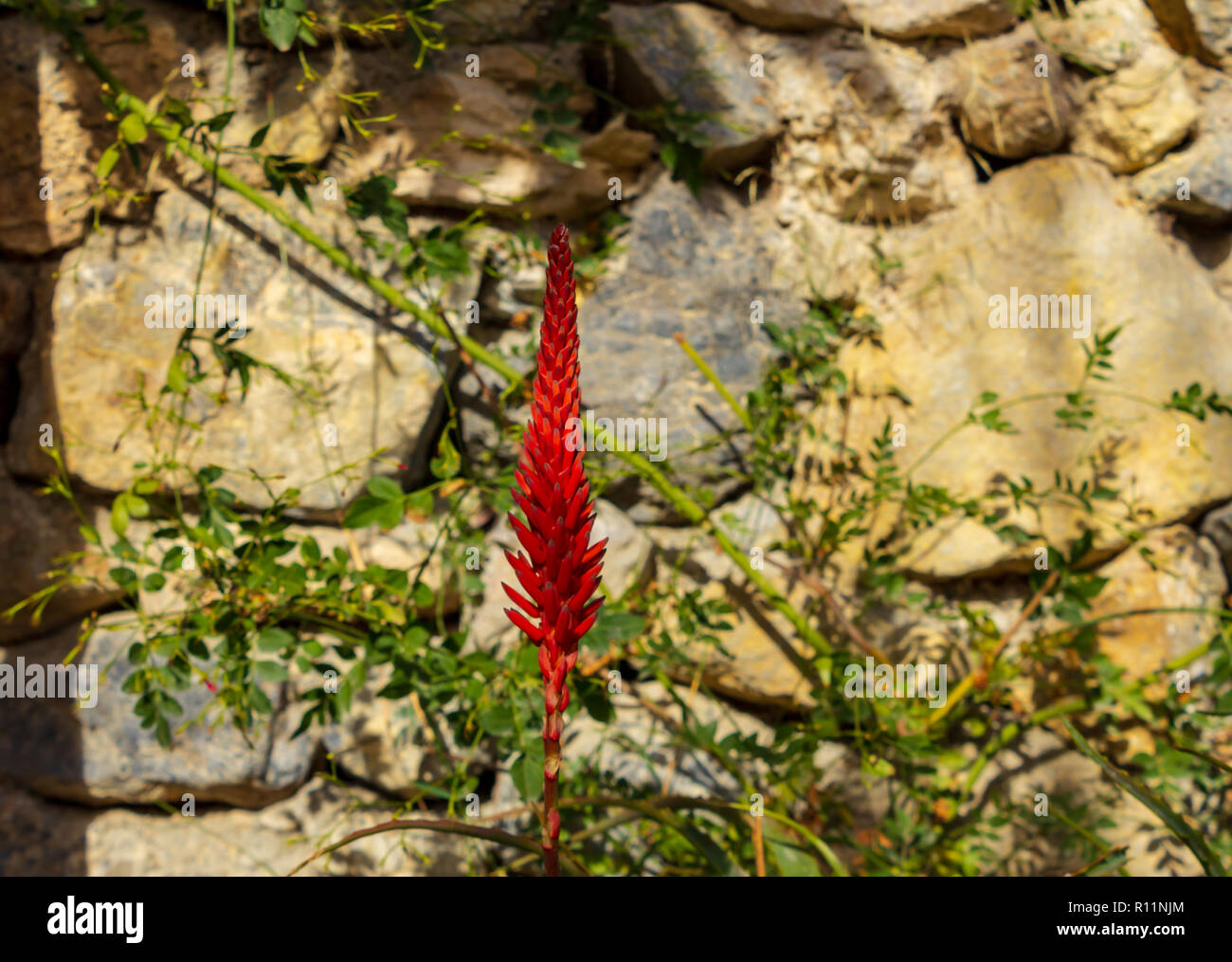 Aloe Vera plant in Flower, December, Spain - Stock Image