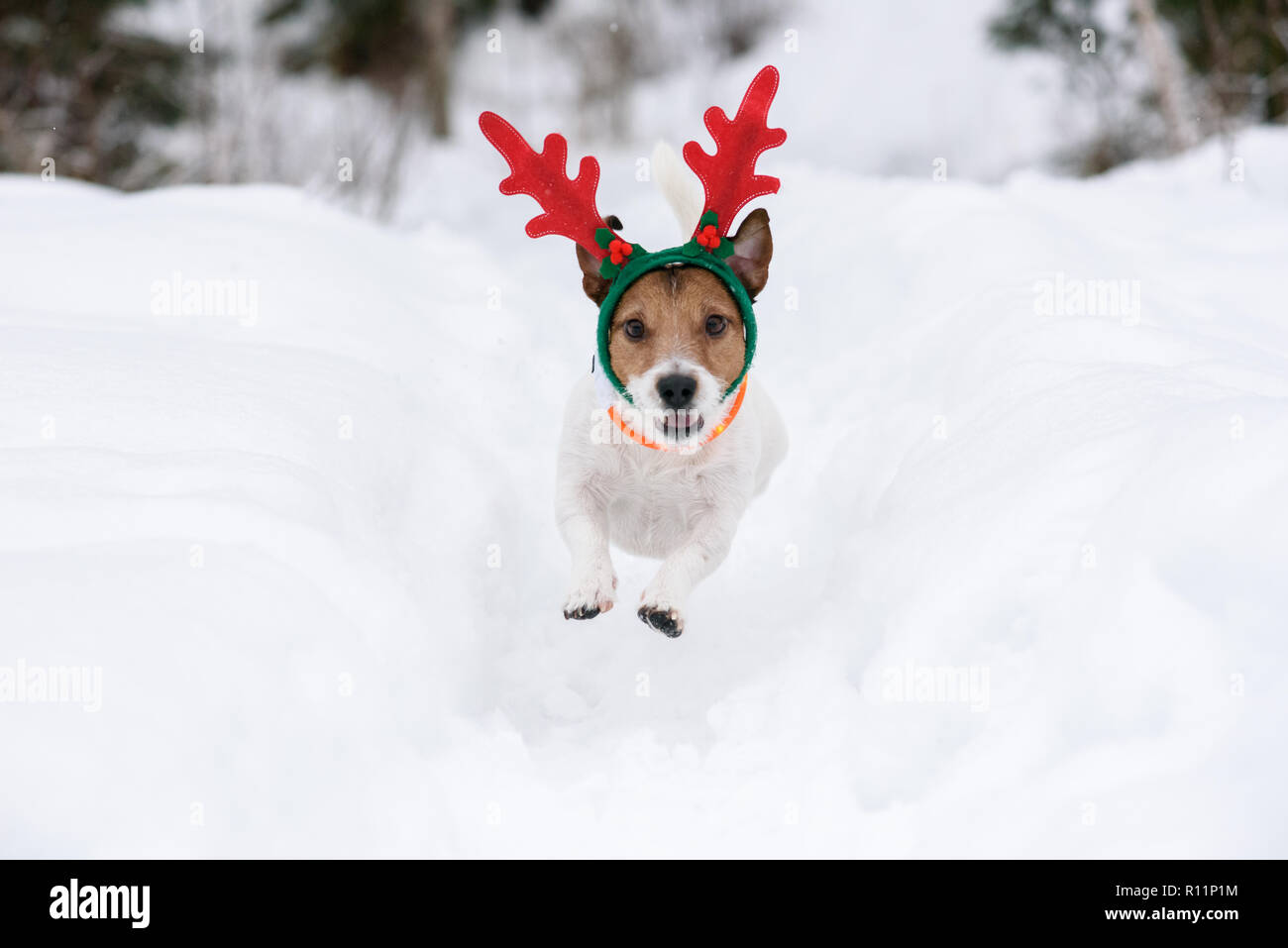 Dog wearing antlers of Christmas reindeer plays in deep snow - Stock Image