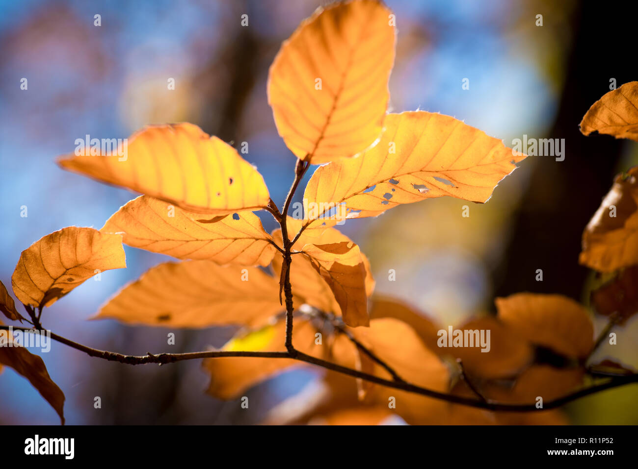Beautiful macro autumn image - yellow leaves, warm tones, gentle blurry background, sun shining trough - the beauty of the fall - Stock Image