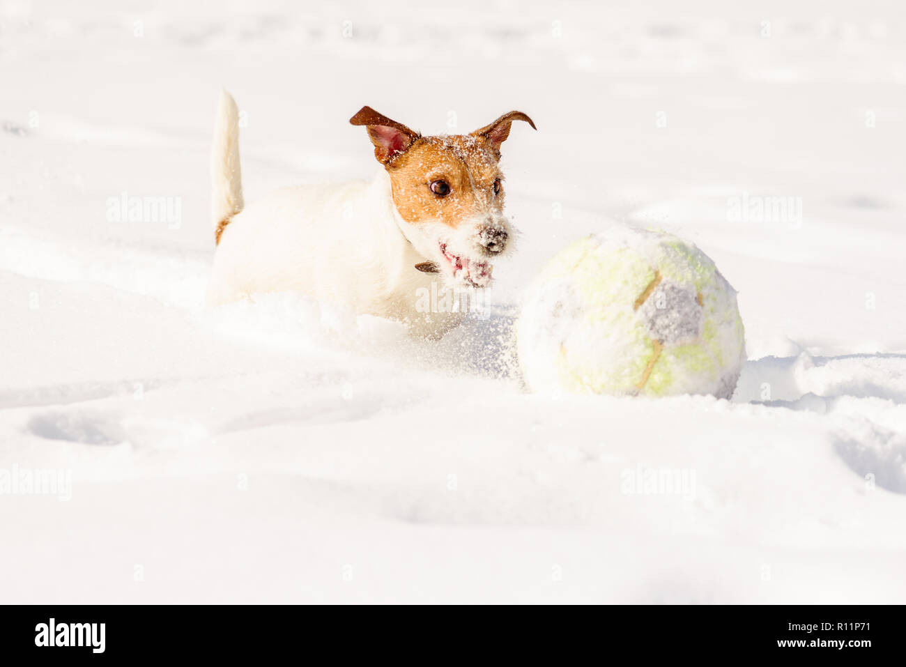 Cute dog running chasing football (soccer) ball in deep snow - Stock Image