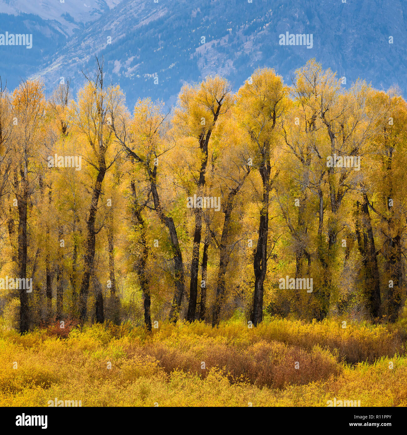 Cottonwood trees and willows in autumn at Blacktail Ponds in Grand Teton National Park, Wyoming. - Stock Image