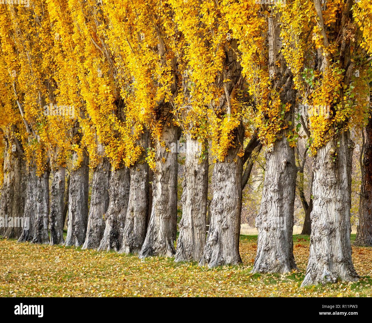 Poplar Trees, Columbia Hills State Park at Horsethief Lake Campground, Columbia River Gorge, Washington. - Stock Image