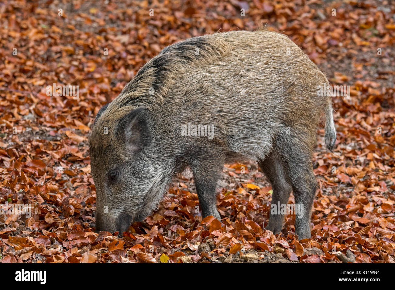 Wild boar (Sus scrofa) piglet foraging in autumn forest by digging with snout in leaf litter in search for beech nuts in the Ardennes - Stock Image