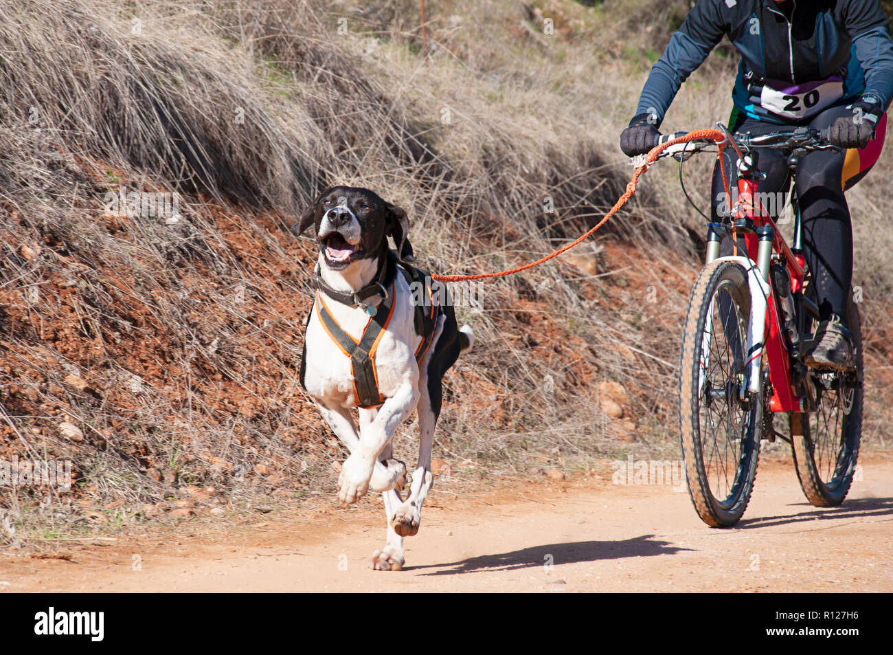 A dog and its musher taking part in a popular canicross with bicycle (bikejoring) - Stock Image