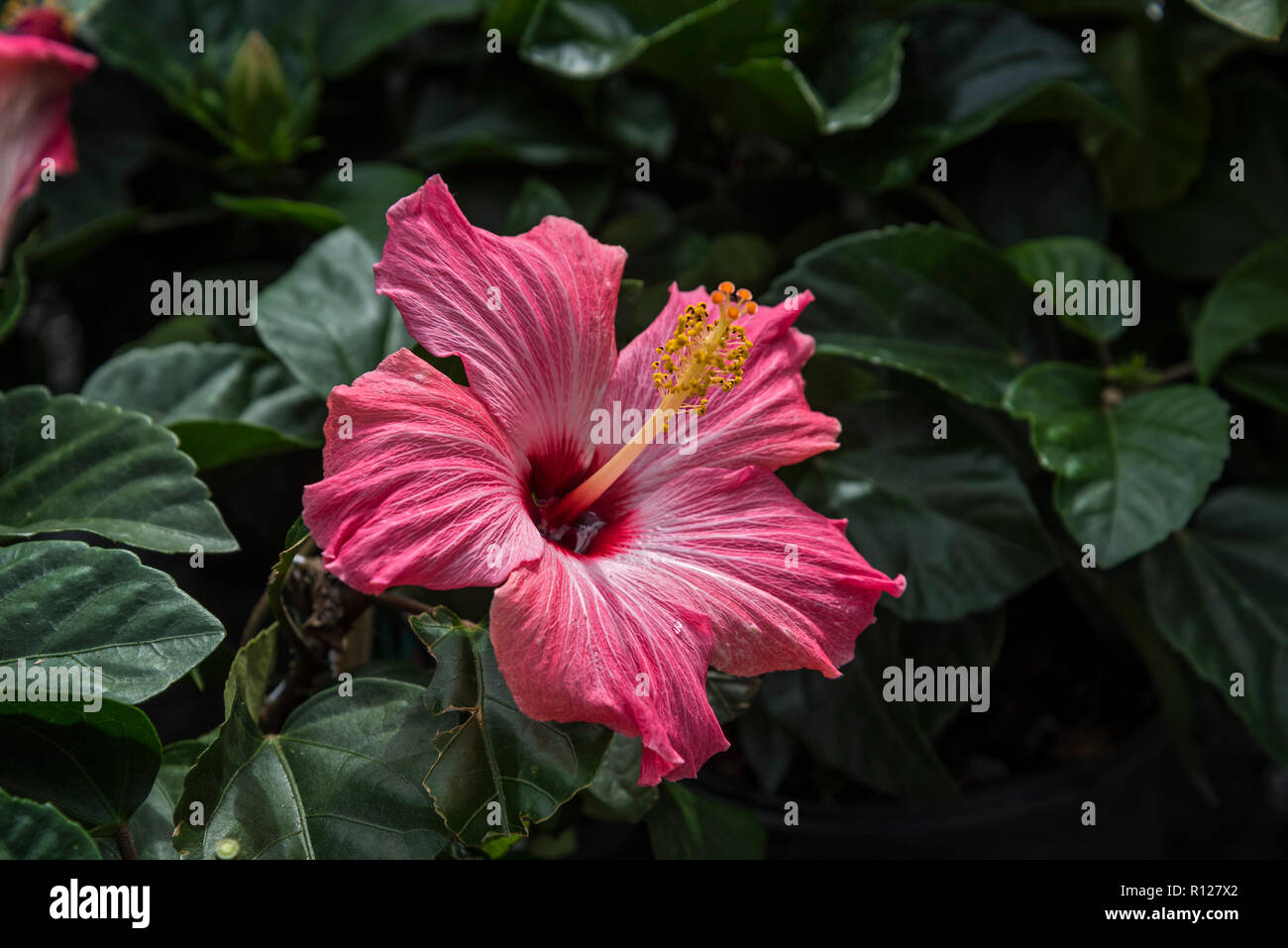 Hibiscus Flowers At A Lowes Home Improvement Center Stock Photo