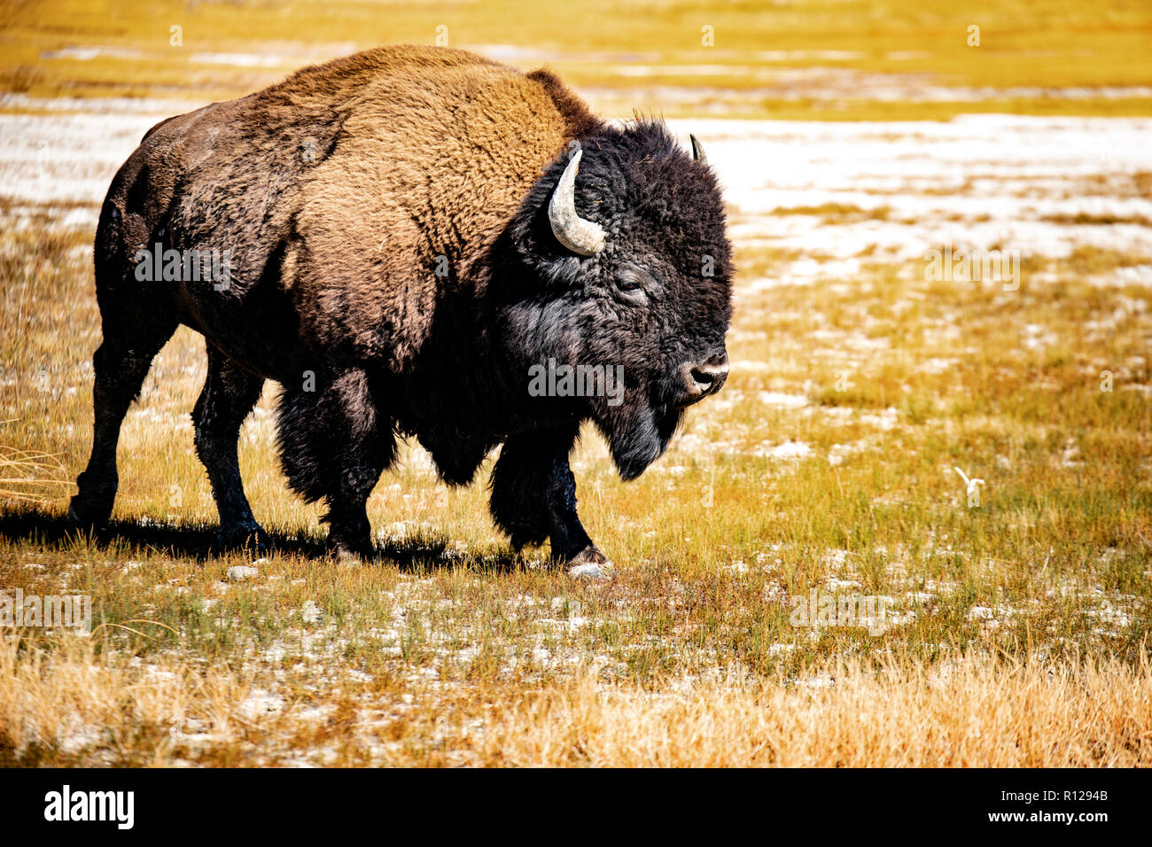WY03601-00...WYOMING - Bison in Yellowstone National Park. - Stock Image