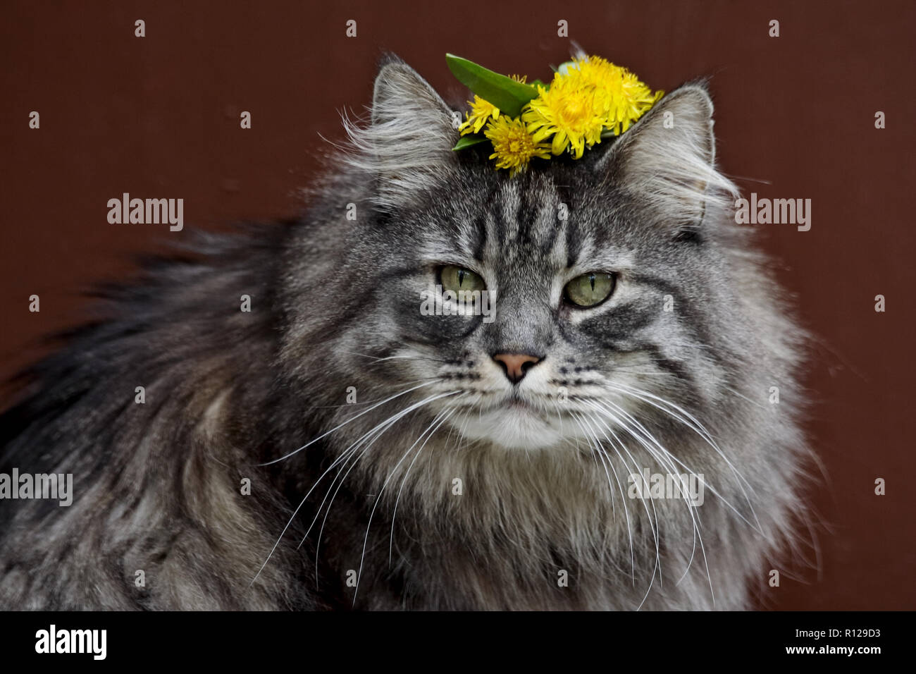Norwegian forest cat with garland of fresh yellow dandelions  on his head - Stock Image
