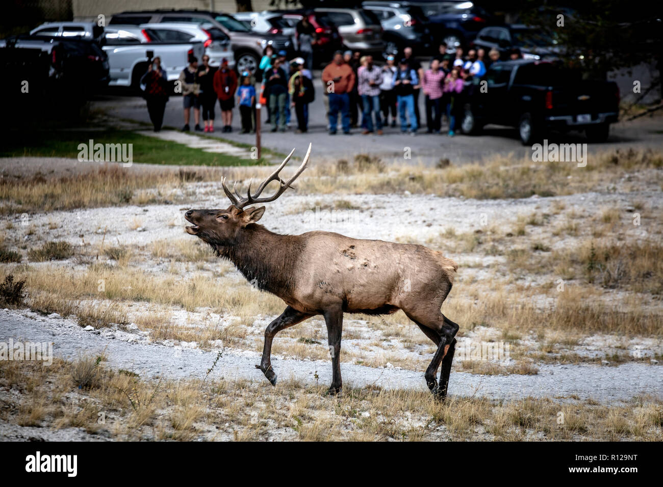 WY03500-00...WYOMING - Bull elk at Mammoth Hot Springs in Yellowstone National Park. - Stock Image