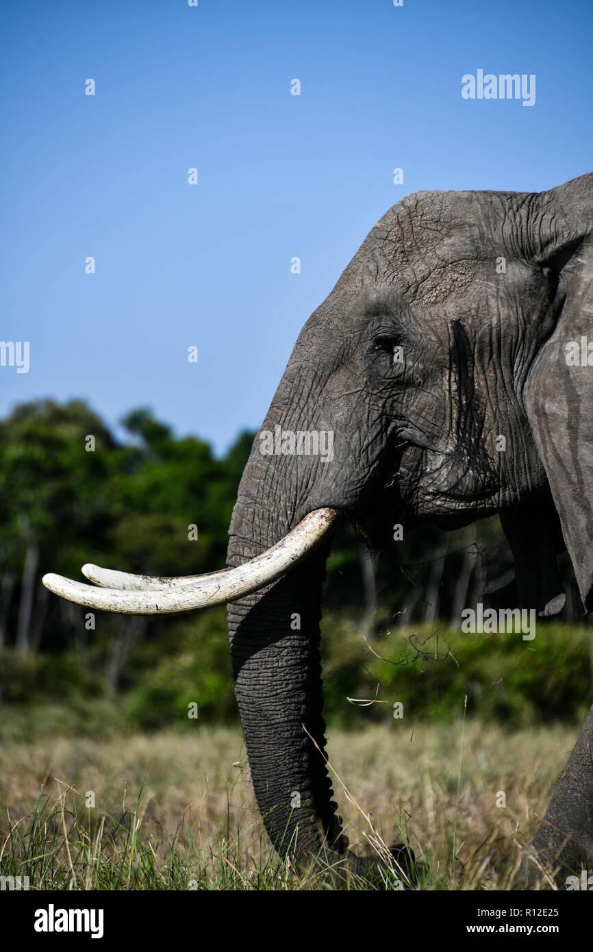 Elephant of Masai Mara, Kenya - Stock Image