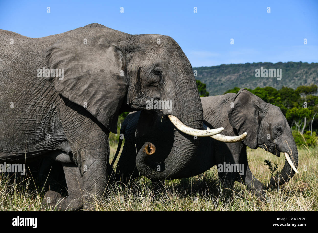Elephants of Masai Mara, Kenya - Stock Image