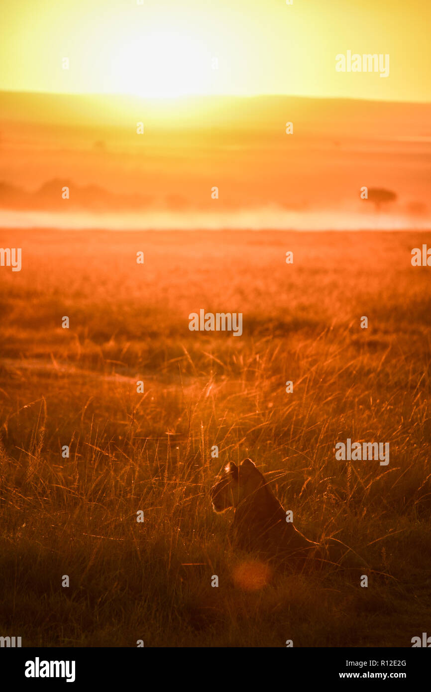 Lioness in plains of Masai Mara, Kenya - Stock Image