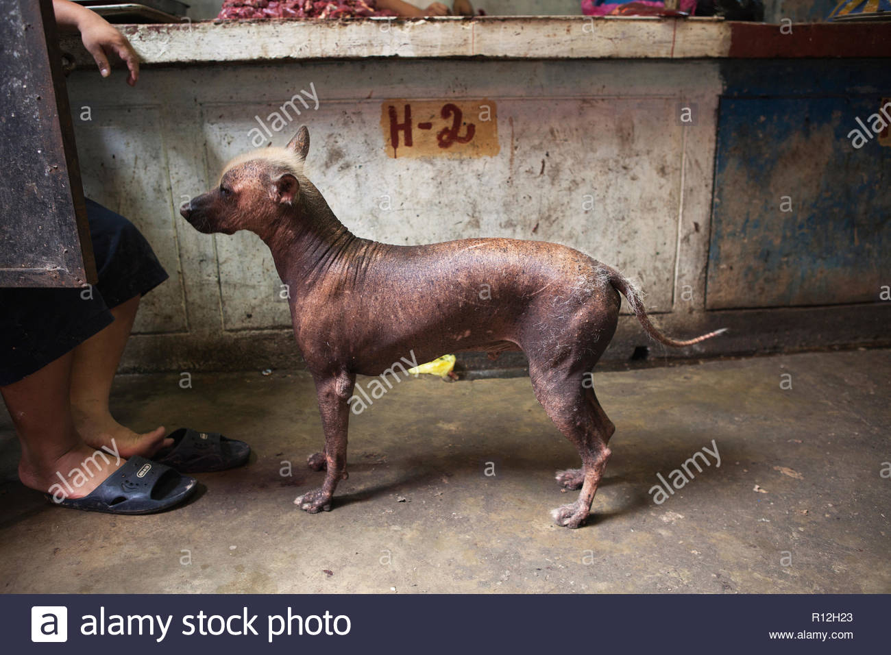 A peruvian hairless dog at a market - Stock Image