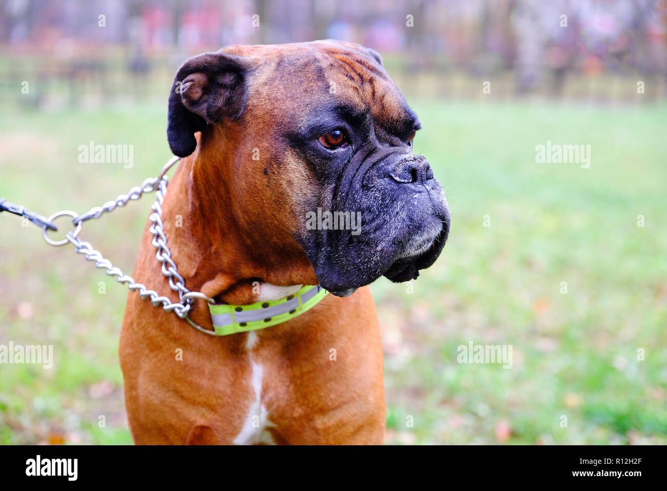 Muzzle dogs breed bulldog. Close-up of the dog looking into the distance - Stock Image