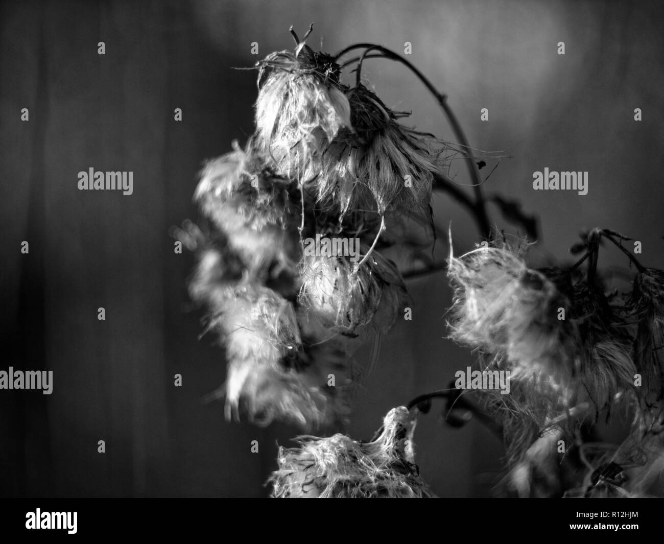dried grass in the garden macro, black and white photo Stock Photo