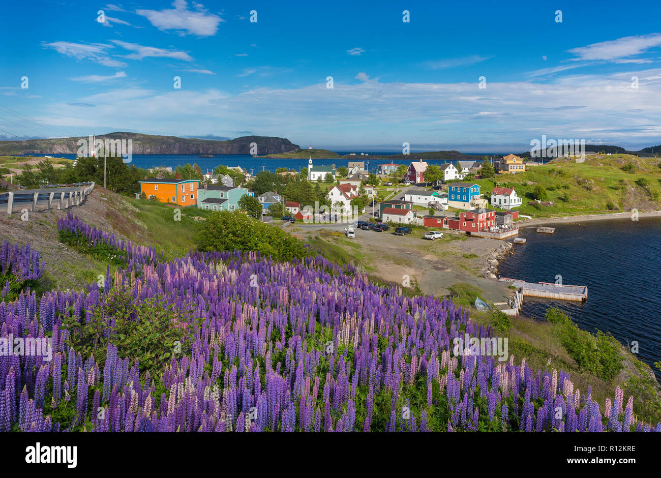 TRINITY, NEWFOUNDLAND, CANADA - Purple Lupins bloom at the small town of Trinity. Lupinus. - Stock Image