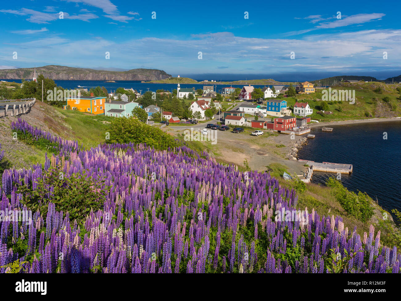 TRINITY, NEWFOUNDLAND, CANADA - Purple Lupins bloom at the small town of Trinity. Lupinus - Stock Image