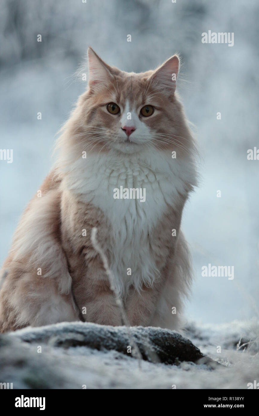 Big and strong norwegian forest cat male sitting in snow - Stock Image