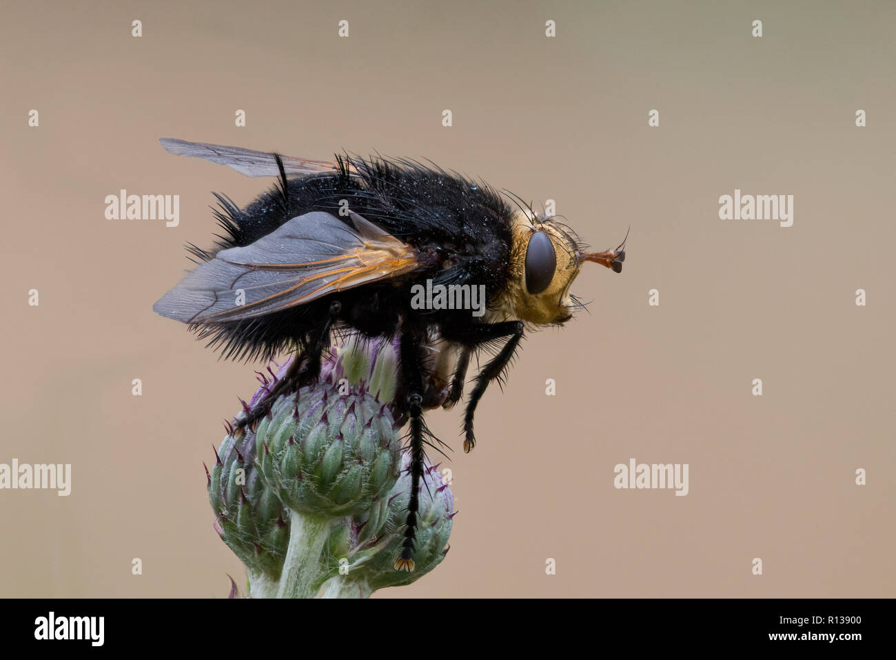 Giant tachnid fly (Tachina grossa) on flowerheads of Creeping Thistle (Cirsium arvense) - Stock Image