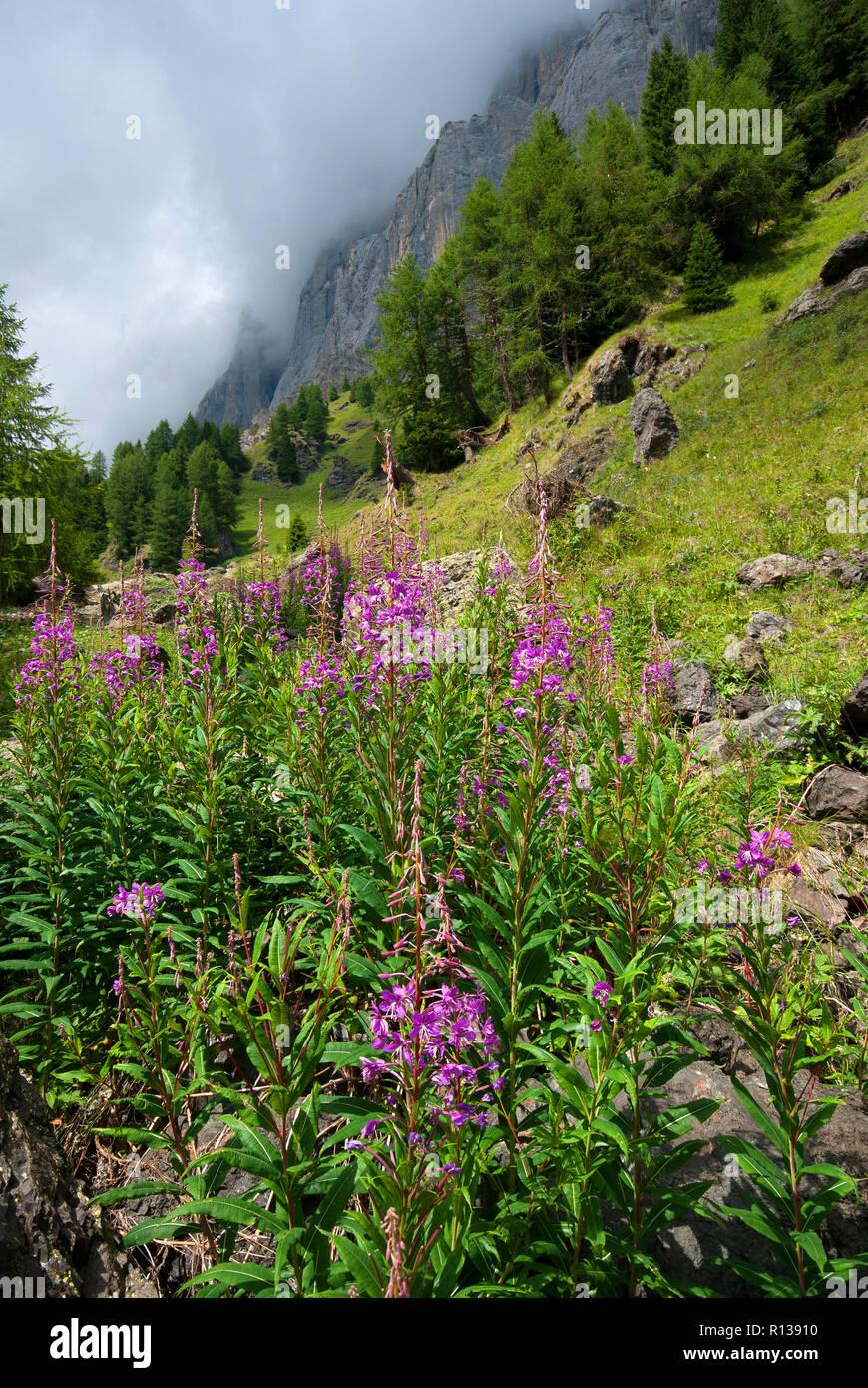 Rosebay willow herb, fireweed (Chamaenerion angustifolium, Epilobium angustifolium), italian alps, Trentino-Alto Adige, Italy Stock Photo