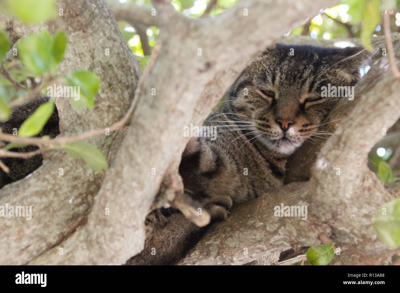 Cat Relaxing in Tree in San Anton Garden, Malta 7. November 2018 - Stock Image