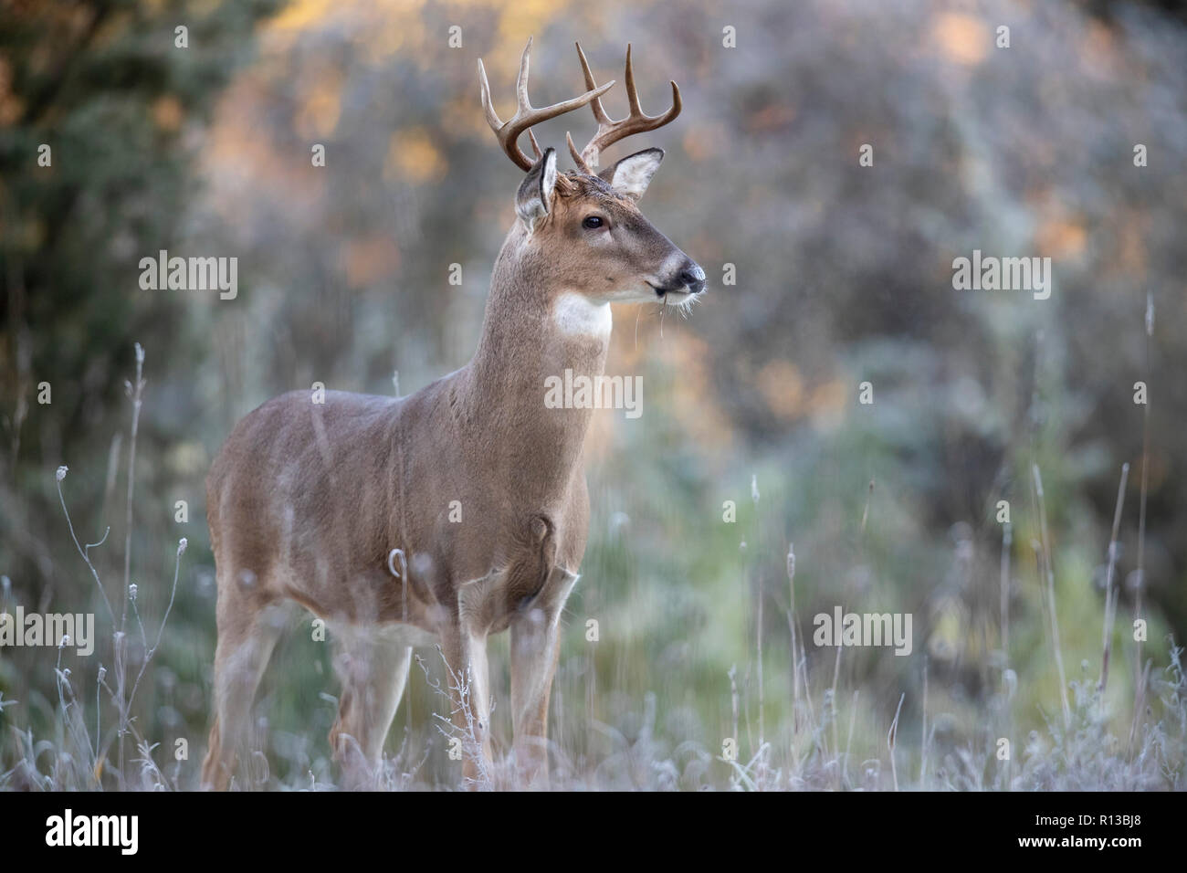 An alert buck whitetail deer looking in the distance. - Stock Image