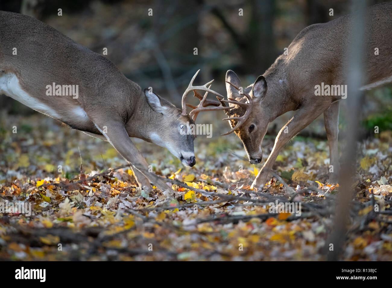 Two whitetail deer bucks sparring with their antlers. - Stock Image