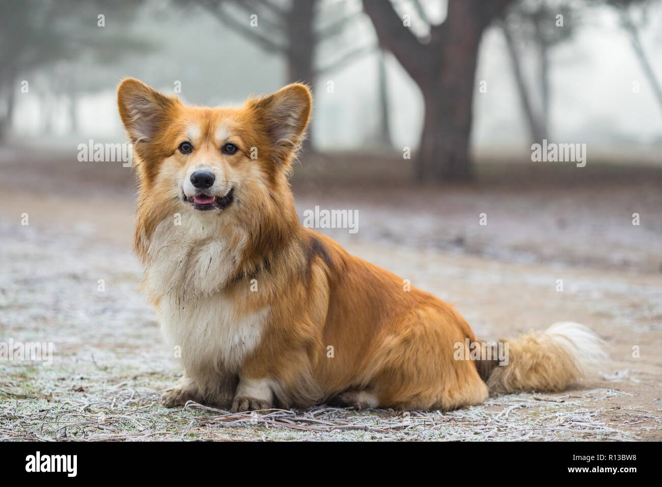 corgi fluffy dog at the outdoor. close up portrait at the snow. walking in winter - Stock Image