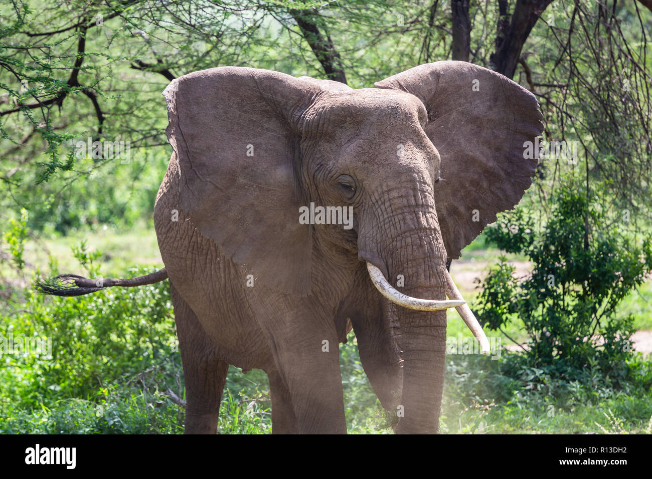 Wild elephant at Lake Manyara National Park. Tanzania. - Stock Image