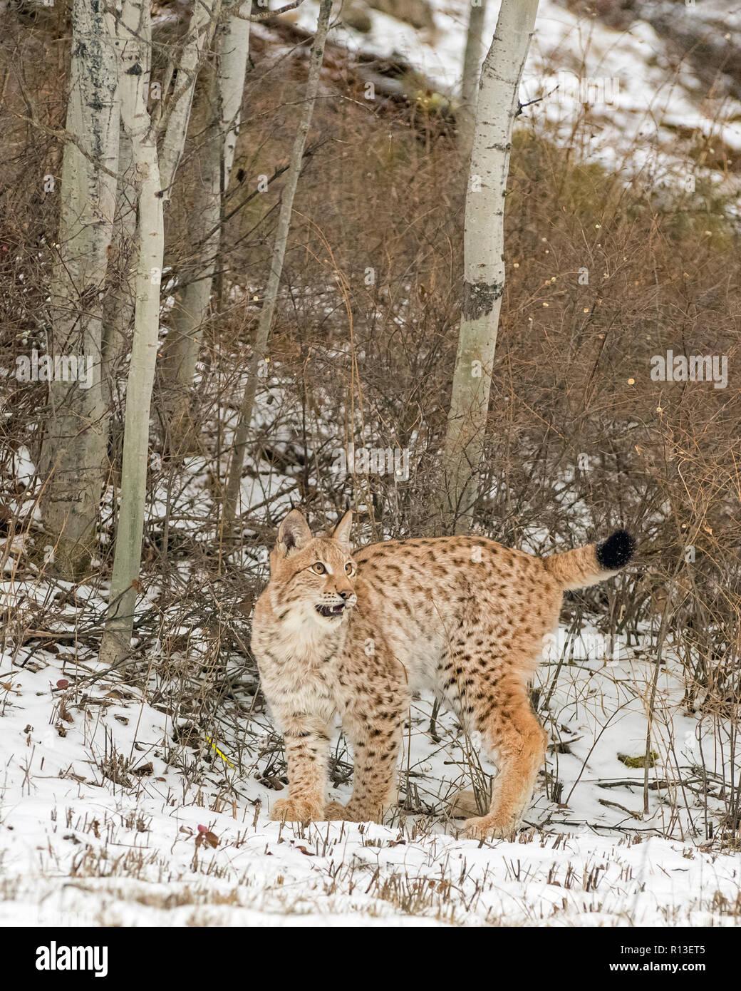Siberian Lynx Cub Kitten in the Snow 4 - Stock Image