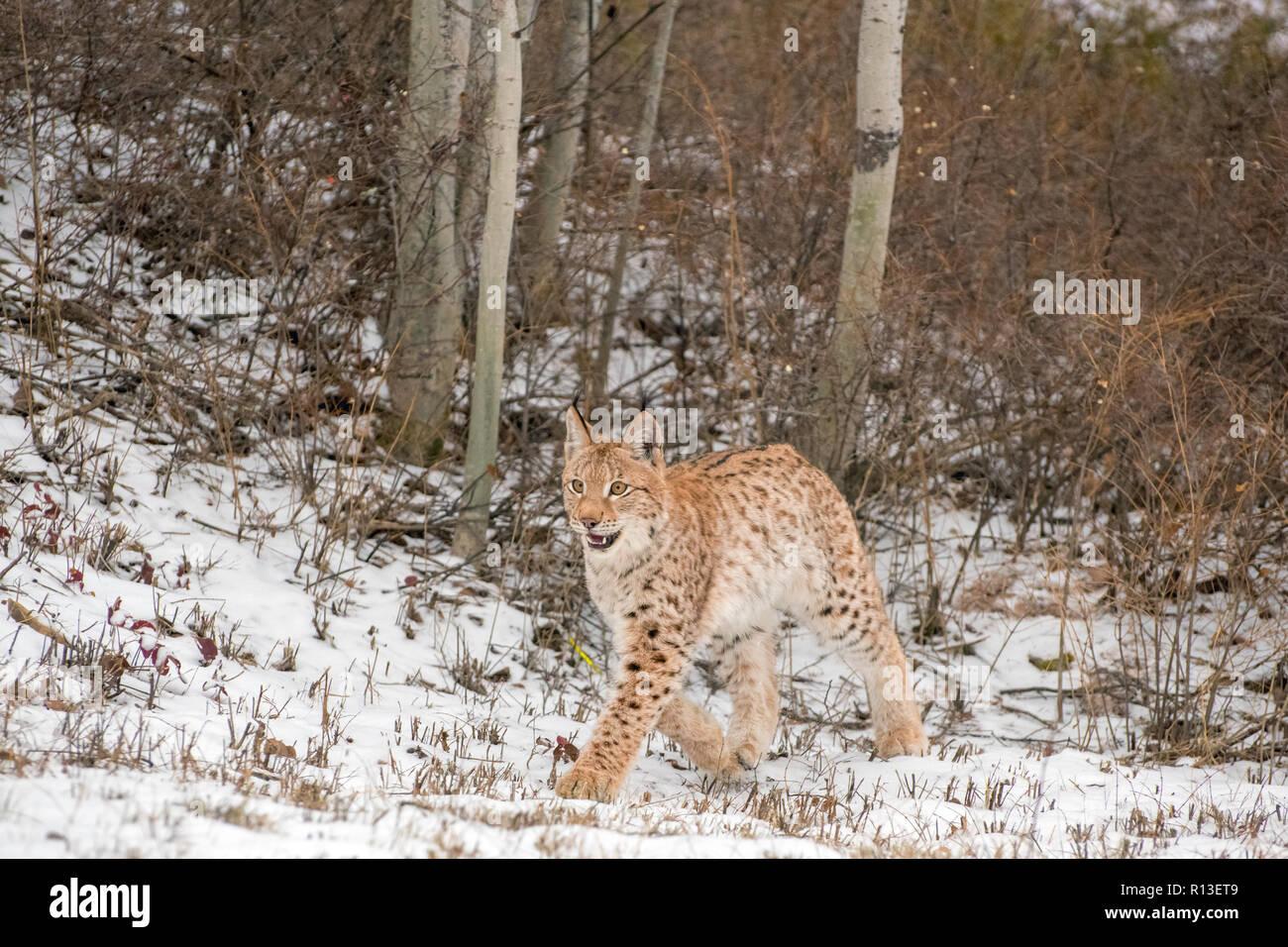 Siberian Lynx Cub Kitten in the Snow 5 - Stock Image