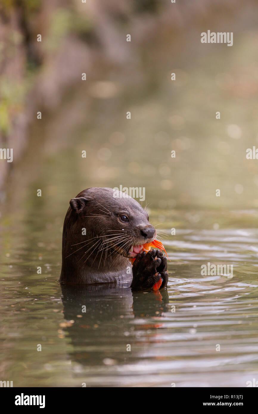 Smooth Coated Otter eating a carp in Singapore Botanic Gardens Stock Photo