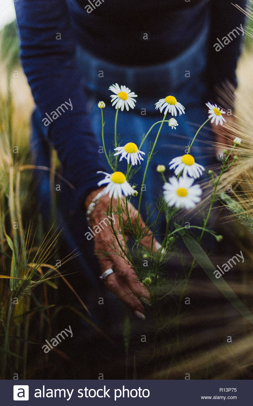 Fresh daisies in a field - Stock Image