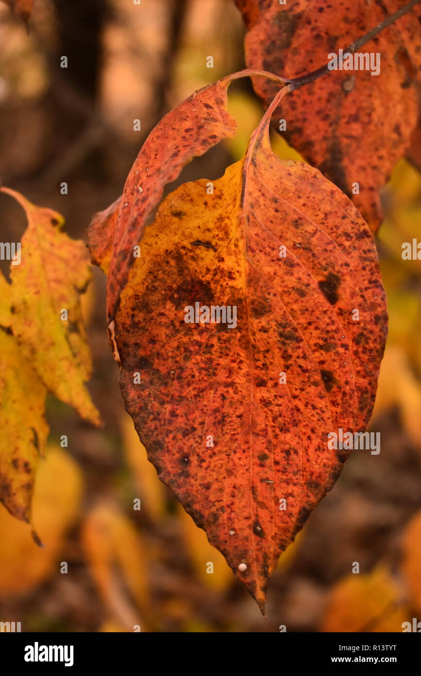 Close up of fall color black gum tupelo leaf (Nyssa sylvatica) with leaves and trees in background - Stock Image