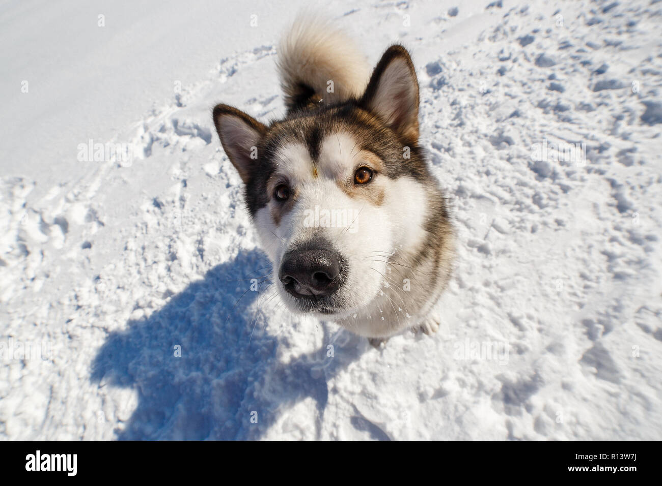 Fuuny High Resolution Stock Photography And Images Alamy Akc alaskan malamute dogs · kennel · counseling & mental health. alamy
