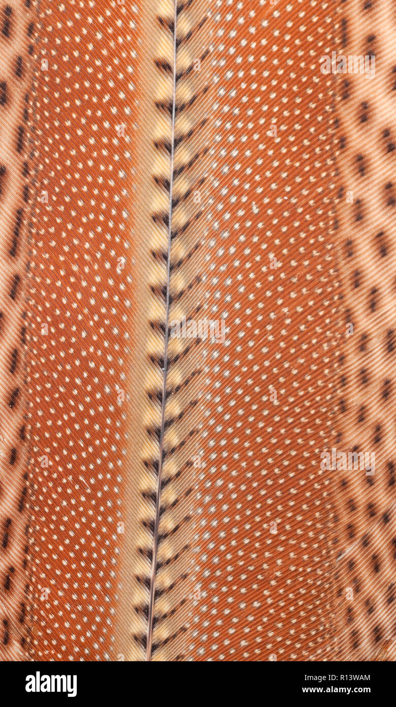 Bird feather patterns. The great argus (Argusianus argus) is a species of pheasant from Southeast Asia. Stock Photo