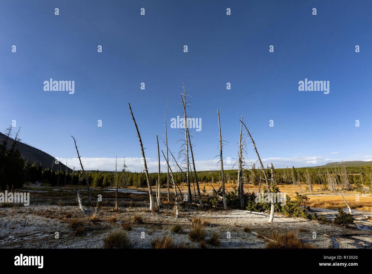 WY03571-00...WYOMING - Dead trees in the HeartLake Geyser Basin, Yellowstone National Park. - Stock Image