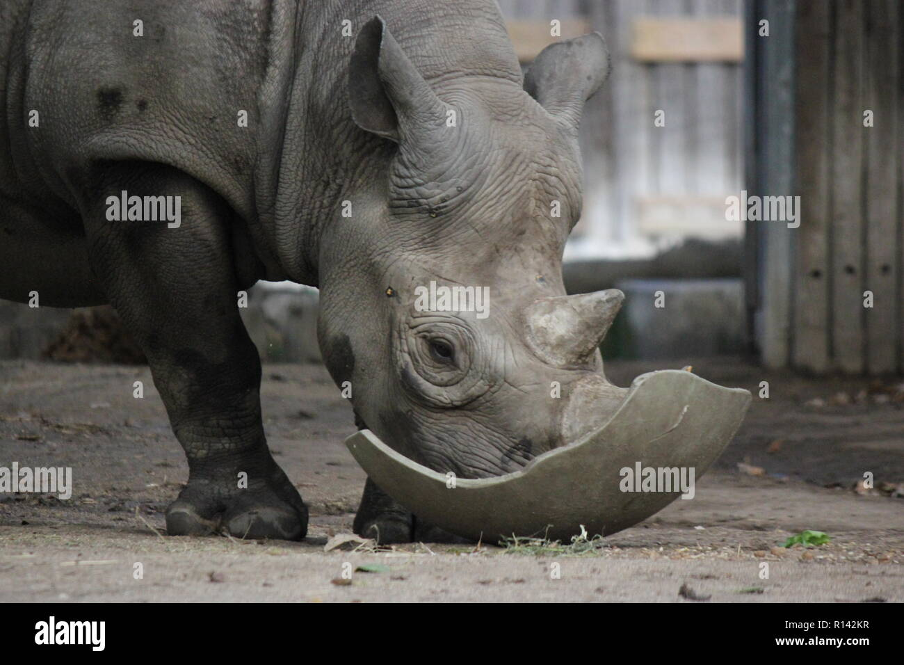 The black rhinoceros, hook-lipped rhinoceros, Diceros bicornis walking around his animal pen at the Lincoln Park Zoo in Chicago, Illinois. - Stock Image