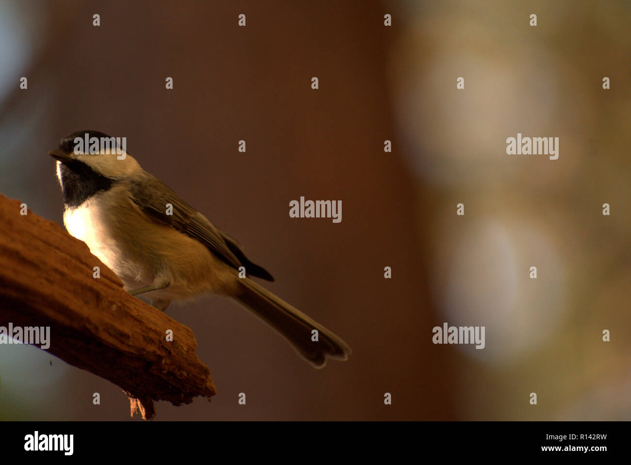 Elegant little Carolina Chickadee perched proudly on a tree branch in the forest (Poecile carolinensis) - Stock Image