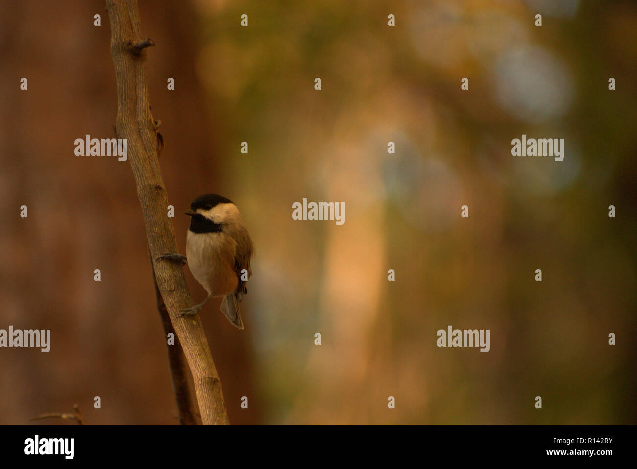 Carolina Chickadee sitting on a hanging vine in the woods in profile (Poecile carolinensis) - Stock Image