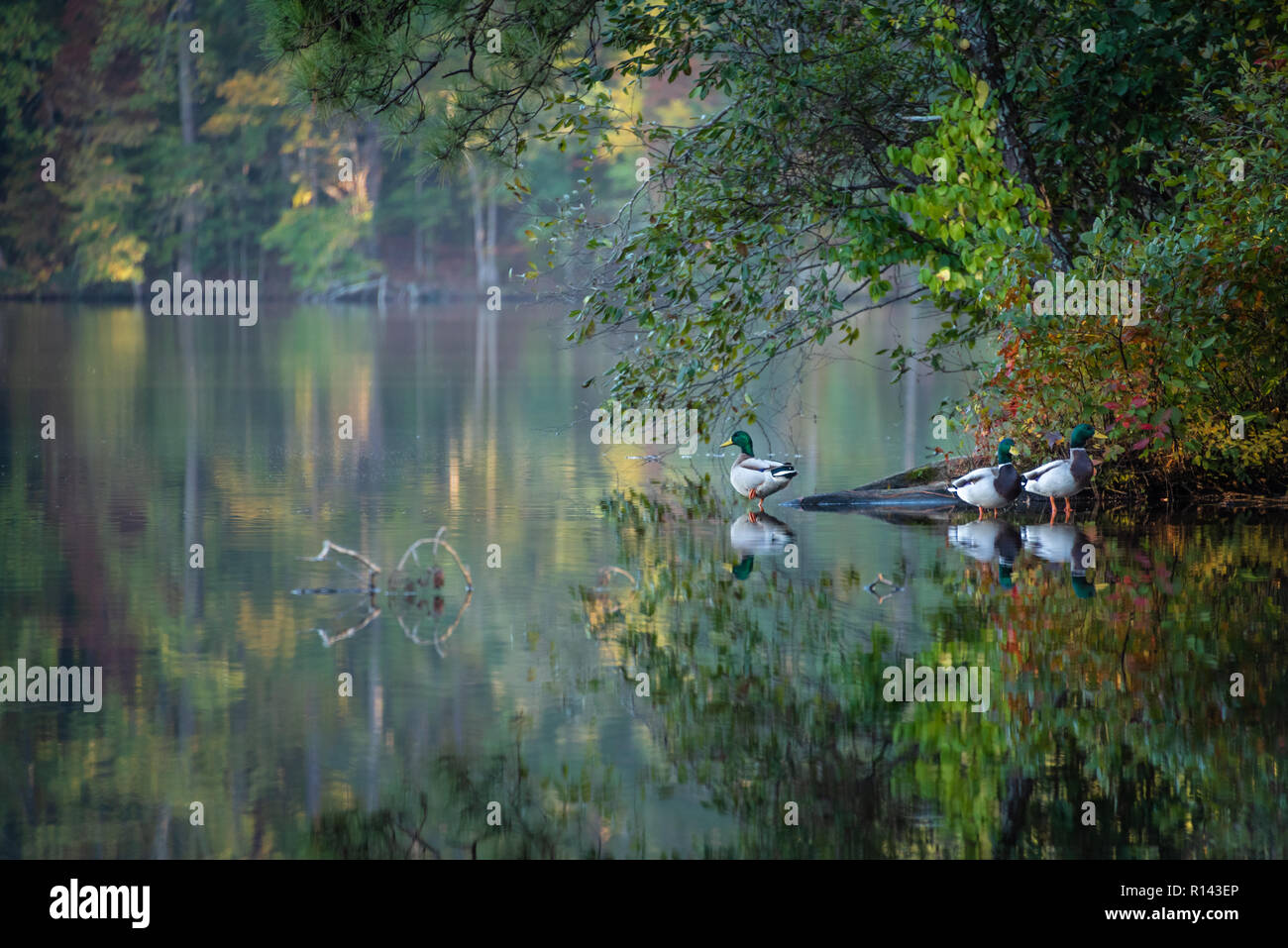 Mallard Ducks Wading Along The Shoreline Of The Glassy Calm Stone