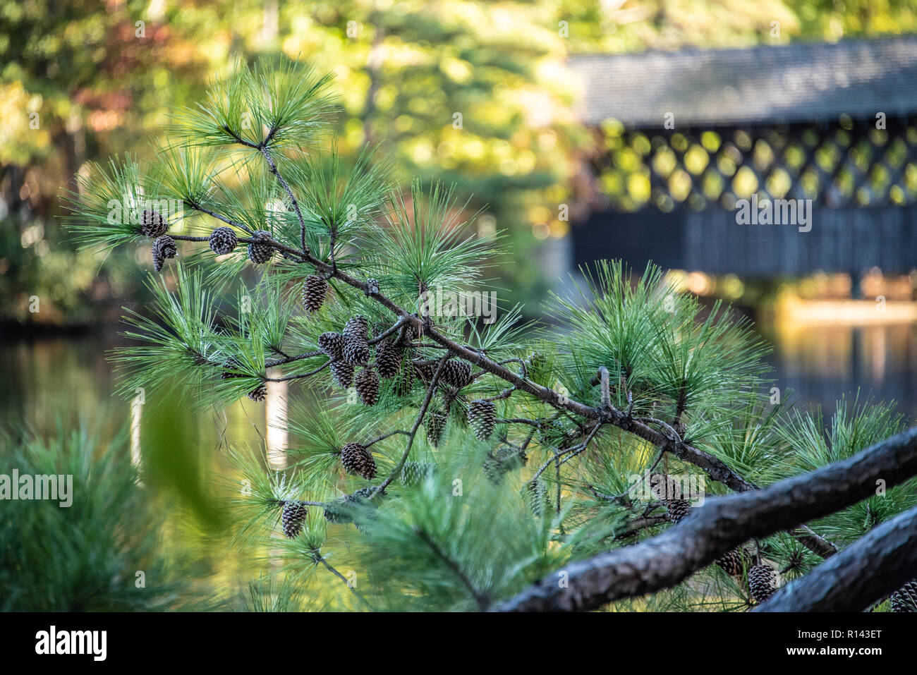 Pine branches loaded with pine cones near the covered bridge on Stone Mountain Lake in Atlanta, Georgia's Stone Mountain Park. (USA) - Stock Image