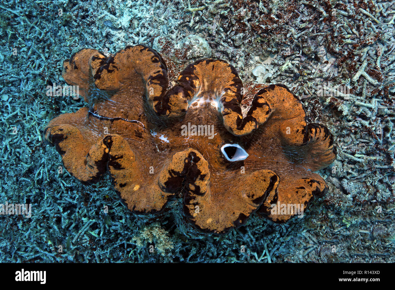 True giant clam (Tridacna gigas) surrounded of broken corals, Palau, Micronesia - Stock Image