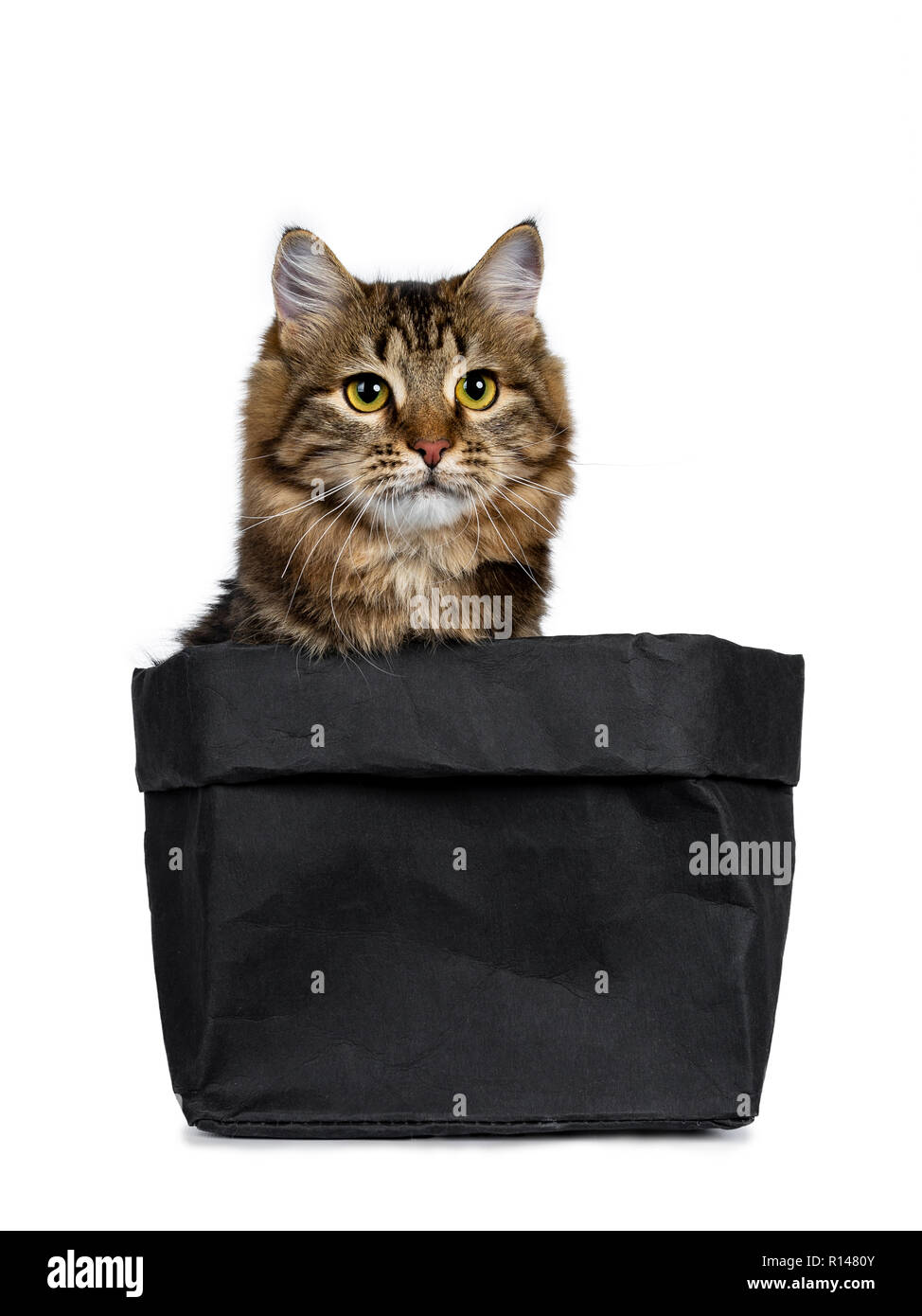 Adorable black tabby Siberian cat kitten sitting in black paper bag, looking straight ahead beside camera. Isolated on white background. - Stock Image