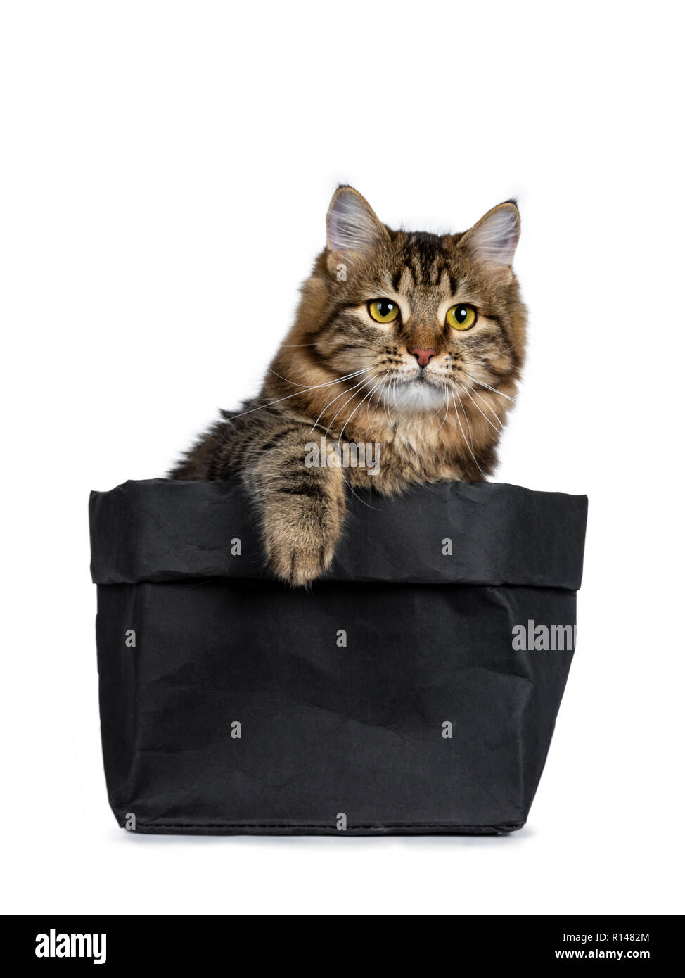 Adorable black tabby Siberian cat kitten sitting in black paper bag with one paw on the edge of the bag, looking focussed ahead beside camera. Isolate - Stock Image