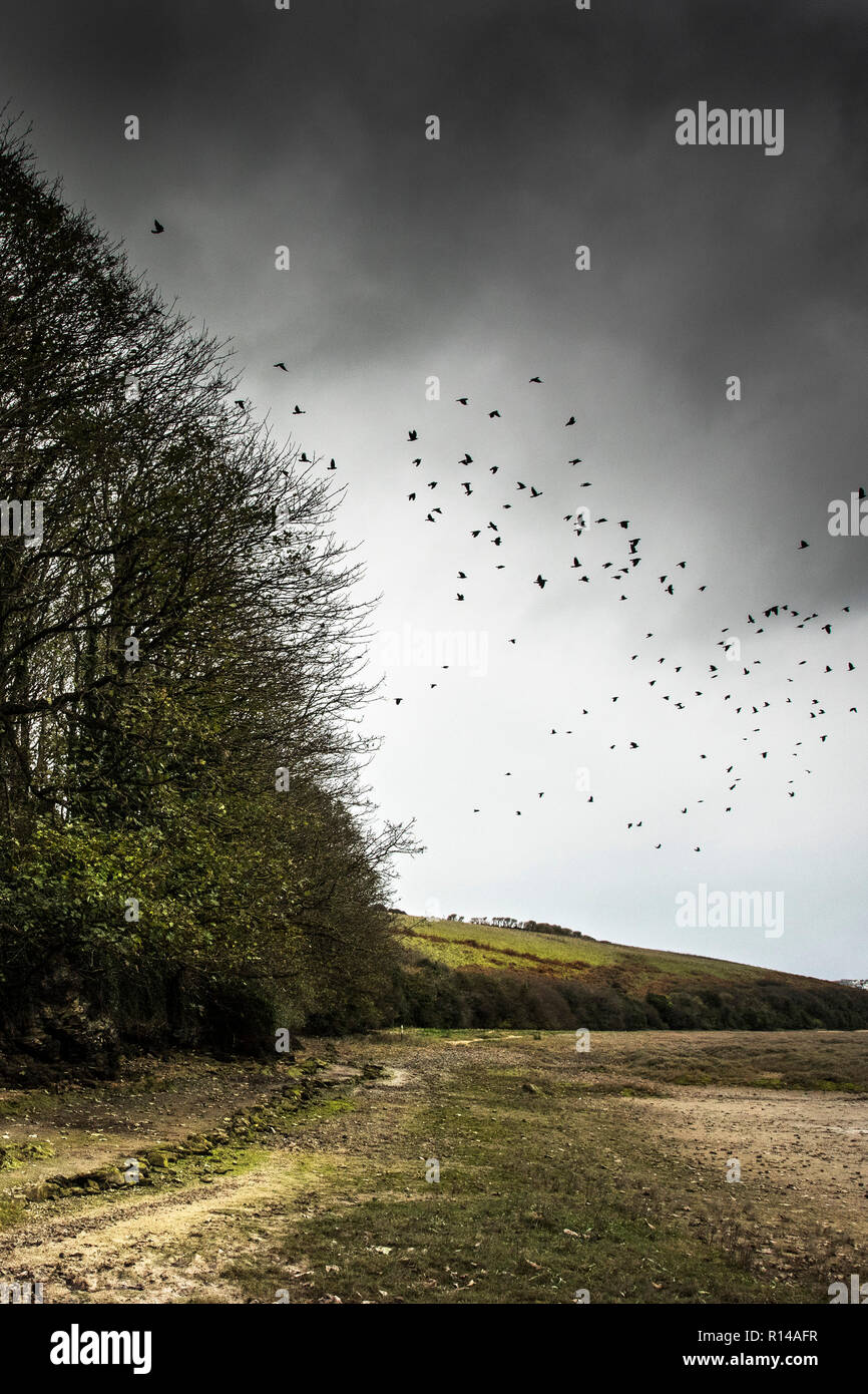 A flock murder of crows flying over the Gannel Estuary in Newquay Cornwall. - Stock Image