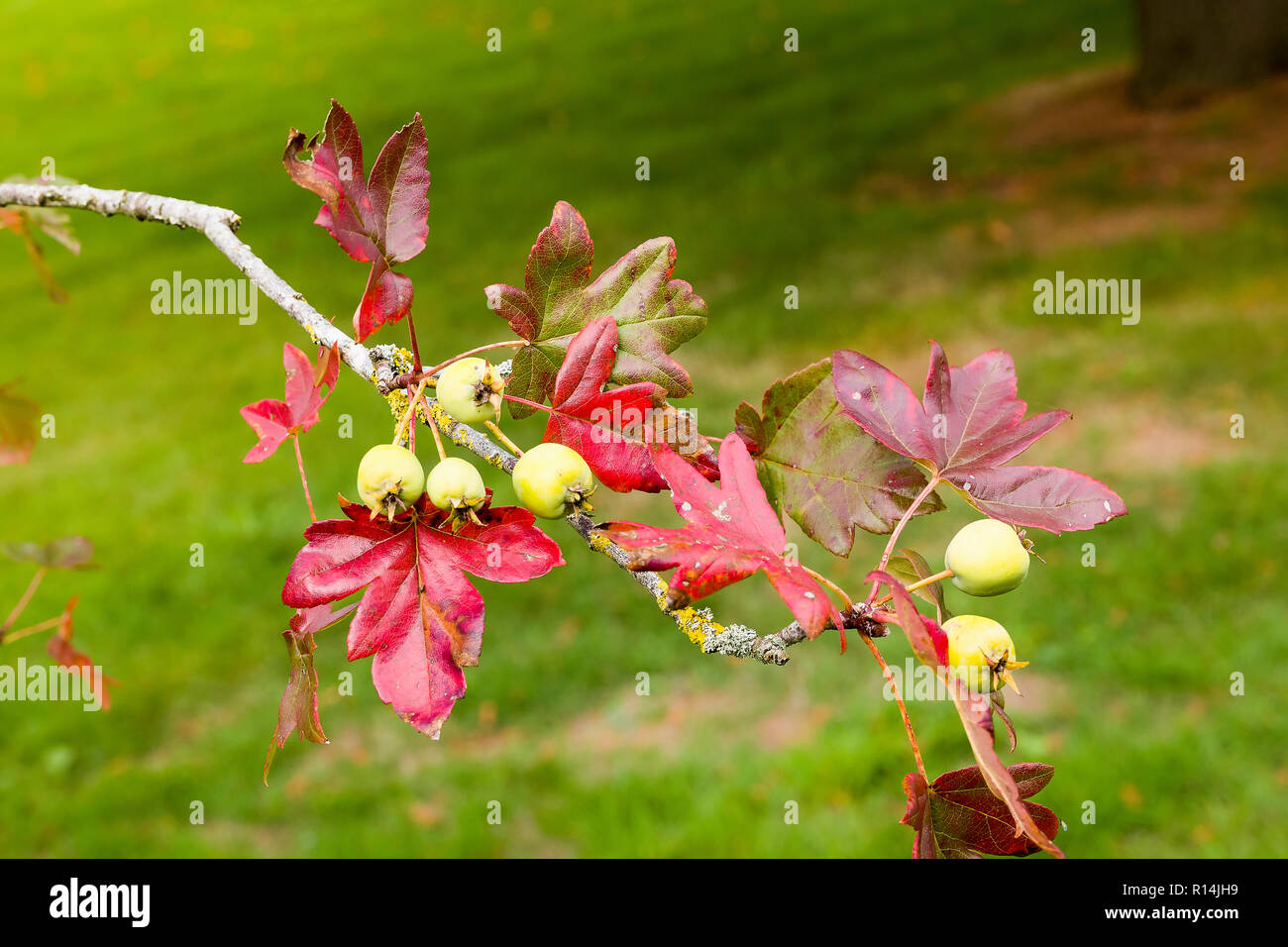 Maple leafed crab apple tree showing fruit and autumn leaves. Malus trilobata Guardsman. - Stock Image
